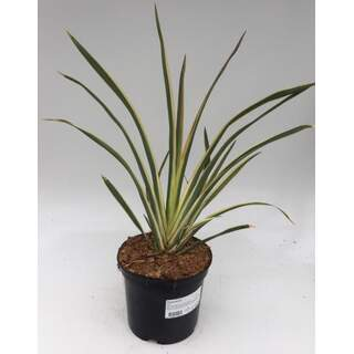 Phormium Flax 2 Ltr