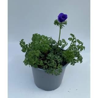 Anemone Blue 3 Ltr