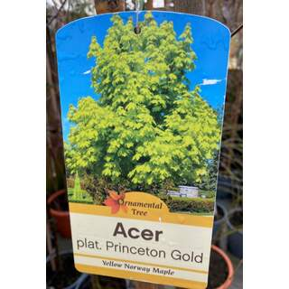 Acer plat. Princeton Gold