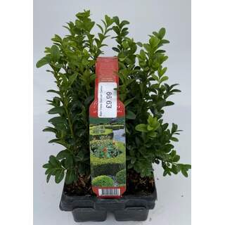 Buxus 6 Pack