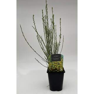 Cytisus Allgold 1 Ltr