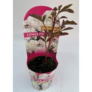 Paeonia Longlife - Peony White
