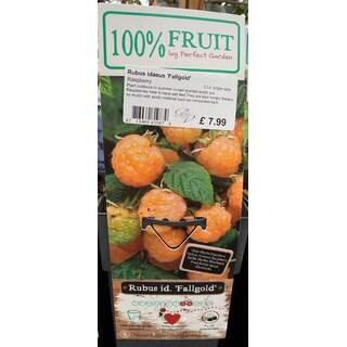 Rubus Fallgold 2 Ltr - Raspberry