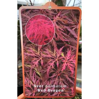 Acer Palmatum Red Dragon
