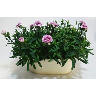 Dianthus Zinc Trough 31.5cm