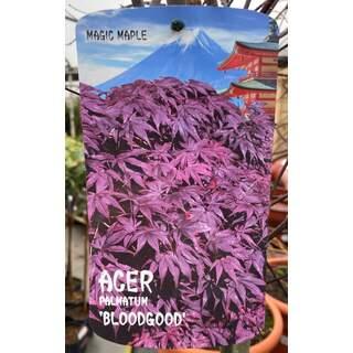 Acer pal.  Bloodgood