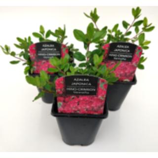 Azalea japonica Hino Crimson 1 Ltr