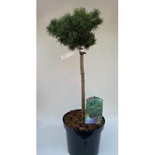 Pinus mugo Mops 50 CM STEM