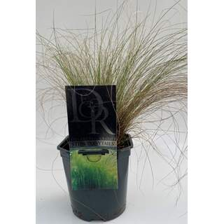 Stipa ten. Pony Tails