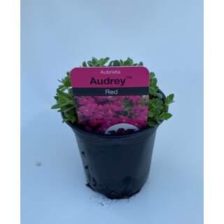 Aubrieta Audrey Red