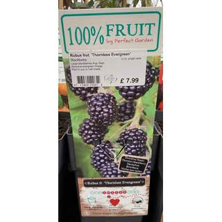 Rubus Thornless Evergreen 2 Ltr - Blackberry