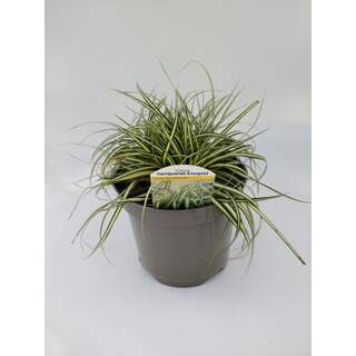 Carex Evergold 3 Ltr