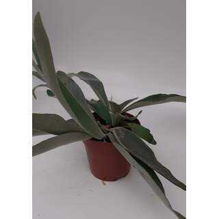 Platycerium veitchii Braam 12cm