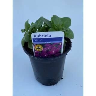 Aubrieta Kitte