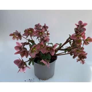 Helleborus 2 Ltr - Pink