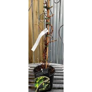 Hydrangea an. petiolaris Mirranda