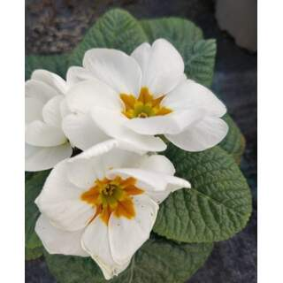 Primrose White 10.5cm