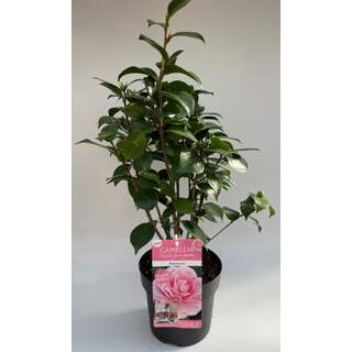 Camellia j. Bonomiana