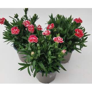 Dianthus Oscar White and Red 10.5cm