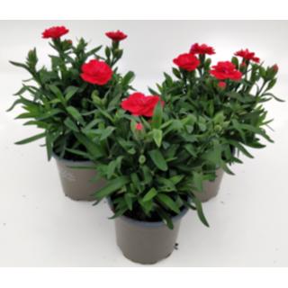 Dianthus Oscar Cherry 10.5cm