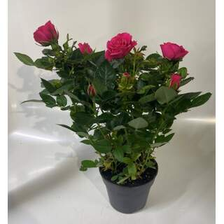 Rose Patiohit Deep Pink