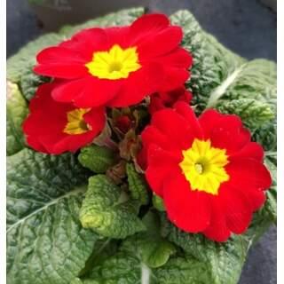 Primrose Red 10.5cm