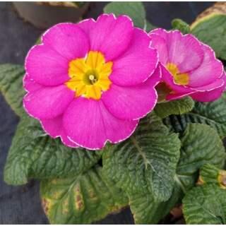Primrose Pink 10.5cm