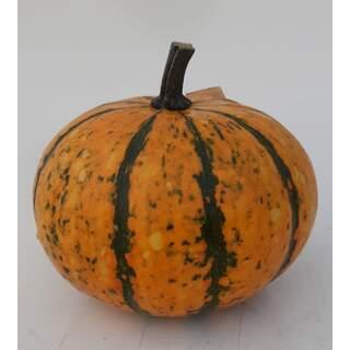 Pumpkin - Blaze medium