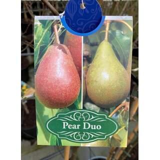 Prunus Duo Pear 12Ltr