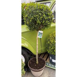 Single Buxus Ball Stand. 30 Ltr