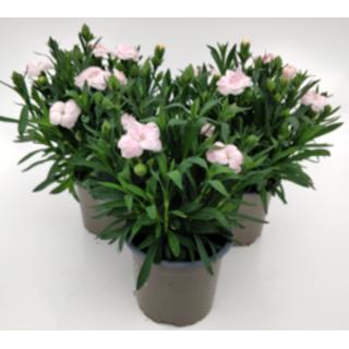 Dianthus Oscar White 10.5cm