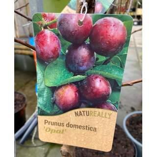 Prunus d.  Opal  Plum