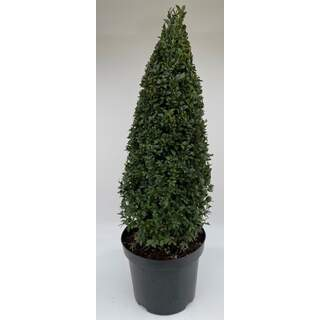 Buxus Cone 12 Ltr