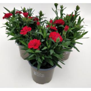 Dianthus Oscar Red 10.5cm