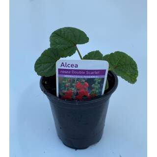 Alcea rosea Double Scarlet