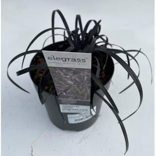 Ophiopogon plan Nigrescens