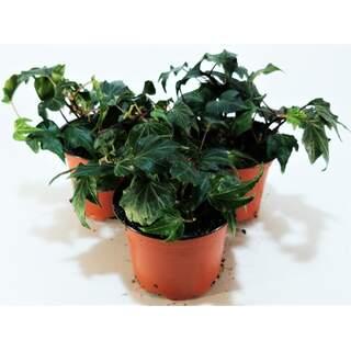 Ivy Hedera Green  9 cm