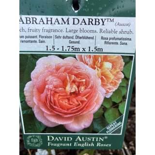 BUSH ROSA ABRAHAM DARBY