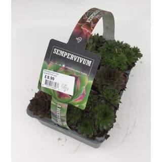 Sempervivum mix 6-pack